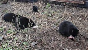 Svarta katter äter fisken lager videofilmer