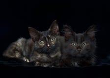 Svarta kattungar för stående två på svart bakgrund Arkivbild