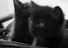 Svarta kattungar i korg Arkivfoto