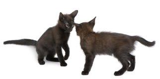 svarta kattungar som tillsammans leker två Arkivfoton