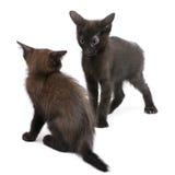 svarta kattungar som tillsammans leker två Arkivfoto