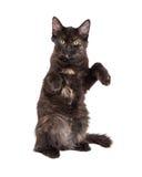 Svarta Kitten Sitting Up Royaltyfria Bilder