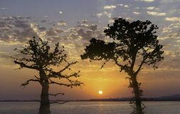Svarta konturer av sörjer träd backlit mot den ljusa solnedgången Royaltyfri Foto