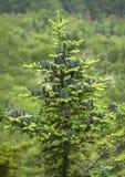 Svarta kottar av balsamgranträdet, Mt Sunapee New Hampshire Arkivfoto