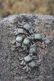 svarta krabbor Fotografering för Bildbyråer