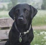svarta labrador Royaltyfri Bild