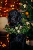 Svarta labrador i en julkrans runt om hans hals mot bakgrunden av ljus nytt år Kort royaltyfria foton
