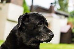 Svarta labrador i trädgården Arkivbild