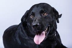 Svarta labrador isolerade Royaltyfria Bilder