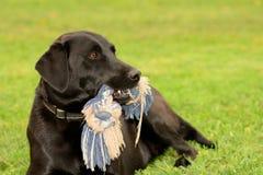 Svarta labrador med dess favorit- leksak Arkivfoto