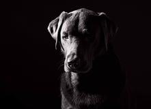 svarta labrador som ser SAD skjuten white Royaltyfria Bilder