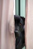 Svarta Labrador som ser till och med gardiner Arkivbilder