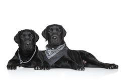 Svarta Labrador valpar Fotografering för Bildbyråer