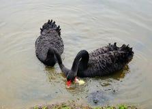 svarta lakeswans Arkivfoton