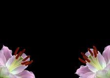 svarta liljar fotografering för bildbyråer