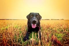 svarta lyckliga labrador Royaltyfri Bild