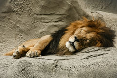 Svarta Maned Lion Sleeping i grotta Royaltyfri Bild