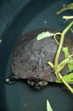Svarta Marsh Turtle Royaltyfri Foto