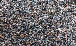 svarta musslor Arkivfoto
