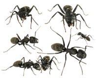 Svarta myror Arkivfoto