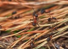Svarta myror i skogen Arkivfoton
