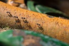 Svarta myror som går på stålröret Royaltyfria Foton