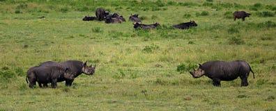 Svarta noshörningar Arkivbilder