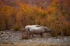 Svarta noshörningar i höstbusken på solnedgången Arkivbild