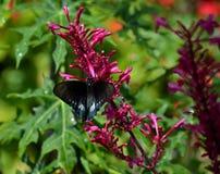 Svarta och blåa Butterfy (Rhopalocera) Royaltyfri Fotografi