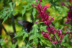 Svarta och blåa Butterfy (Rhopalocera) Royaltyfria Foton