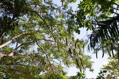Svarta och gröna fröskidor på trädet Bakgrund royaltyfri foto