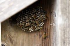 Svarta och gula bålgetingar som bygger bikupan på trästaketet Royaltyfri Bild