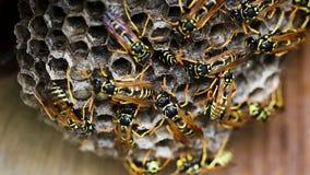Svarta och gula bålgetingar som bygger bikuparedet arkivfilmer