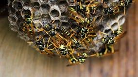 Svarta och gula bålgetingar som bygger bikuparedet stock video