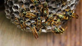 Svarta och gula bålgetingar som bygger bikuparedet lager videofilmer