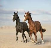 Svarta och kastanjebruna hästar i öken Royaltyfria Foton