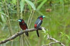 Svarta och röda Broadbill Arkivfoton