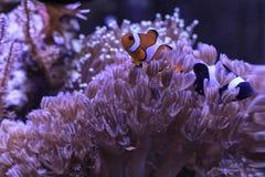 Svarta och röda clownfishes Royaltyfria Foton