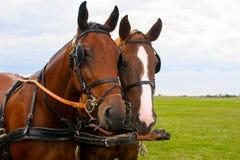 Svarta och röda head hästar Arkivfoton