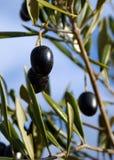 Svarta oliv i olivträdet Royaltyfri Bild
