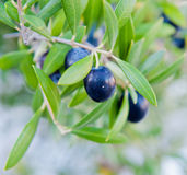 Svarta oliv på en filial av ett träd Royaltyfri Fotografi