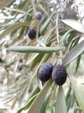Svarta oliv som hänger från en filial - närbild Fotografering för Bildbyråer