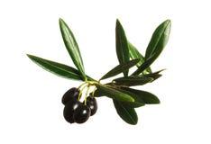 svarta olivgrön Royaltyfri Bild