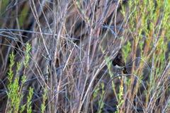 Svarta Phoebe i Bosque del Apache Medborgare djurlivfristad i nytt - Mexiko arkivfoto