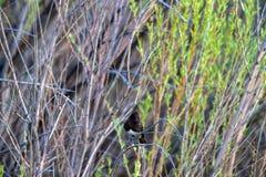Svarta Phoebe i en buske i träsket på den Bosque del Apache Medborgare djurlivfristaden i nytt - Mexiko arkivbilder