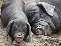svarta pigs Royaltyfria Bilder