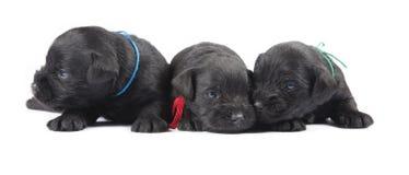 Svarta puppys av miniatyrschnauzeren Arkivbild