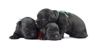Svarta puppys av miniatyrschnauzeren Arkivfoto