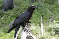 Svarta Raven With Blue Eye Royaltyfri Bild