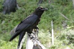 Svarta Raven With Blue Eye Royaltyfri Bild